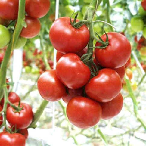 TOMATEN - Echte gezondheidsbommetjes - boordevol bètacaroteen (beschermt tegen vrije radicalen) - bètacaroteen wordt omgezet in vitamine A, wat erg belangrijk is voor het gezichtsvermogen en de groei, maar ook voor gezonde botten, tanden, huid en haar en weerstand - verzadigend effect door lycopeen. Olijfolie vergroot de voordelen van tomaten: de absorptie van lycopeen is drie keer zo groot als je het consumeert als tomatensaus of -pasta, vergeleken dan uit rauwe tomaten.