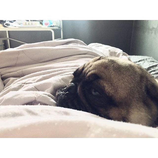 아침에 배가 무거워서 눈을 떠보았다. #아련터짐 #개아련 #레옹 #퍼그 #2살 #찡코 #강아지 #애견 #멍스타그램 #개스타그램 #멍멍 #일상 #팔로우 #좋아요 #leon #pug #puppy #pet #dog #dogstagram #petstagram #daily #レオン #パグ #犬 #犬部 #愛犬 #ペット