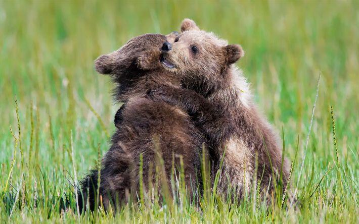 Descargar fondos de pantalla Los osos, de la naturaleza salvaje, los pequeños cachorros, la hierba verde
