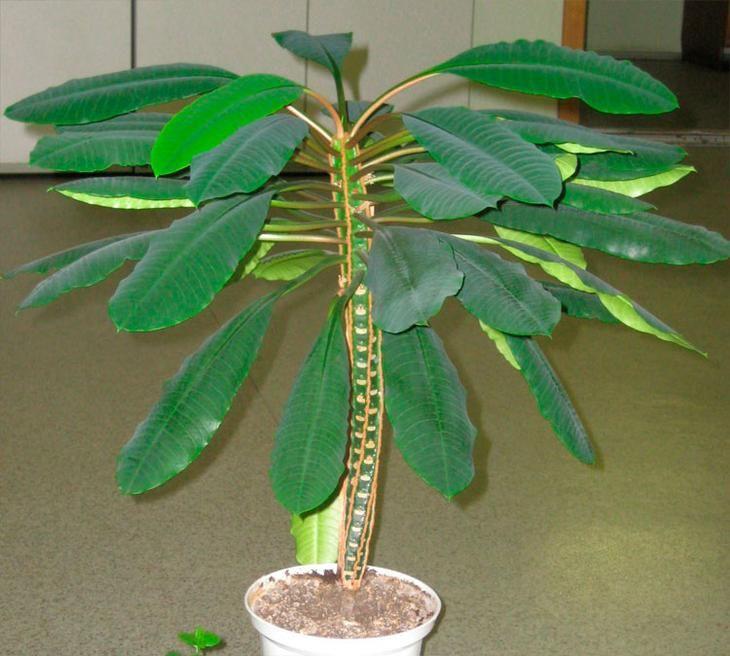 Такой род, как молочай (Euphorbia), относящийся к семейству молочайные (Euphorbiaceae), является одним из самых обширных в растительном мире. Данный род объединяет примерно 2000 видов растений, которы...