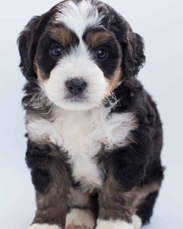 Tricolor Maltese Puppy Maltese Puppy