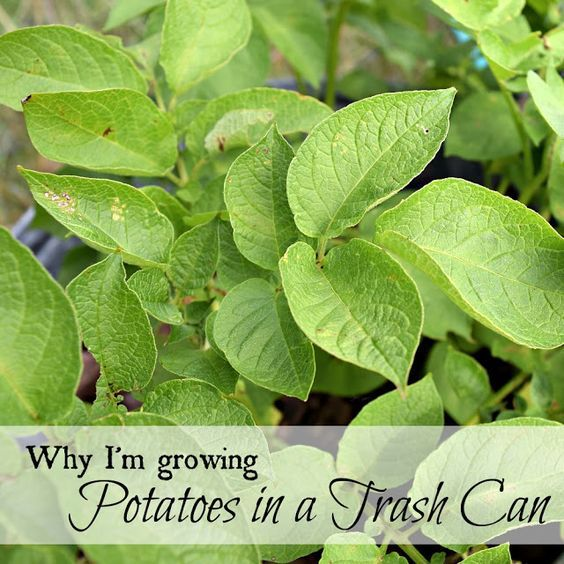 Why I'm growing potatoes in a trash can this year.