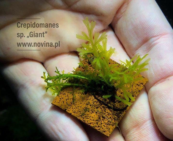 Crepidomanes Sp Giant Planted Aquarium Aquatic Plants Plants