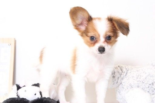Papillon puppy for sale in NAPLES, FL. ADN-33779 on PuppyFinder.com Gender: Male. Age: 8 Weeks Old