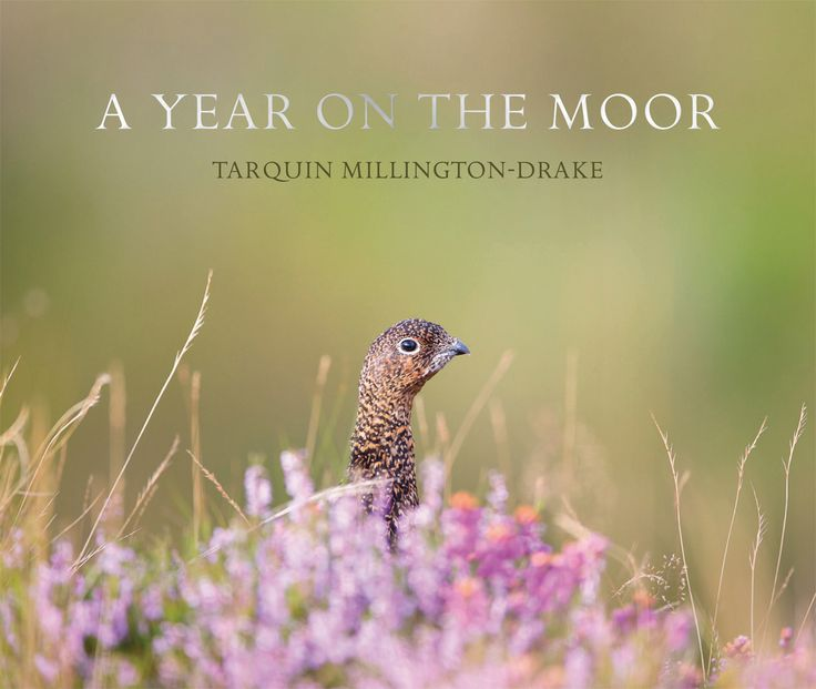 A Year on the Moor by Tarquin Millington-Drake | Quiller Publishing. A unique photographic account of life on and around a grouse moor. #country #countryside #books #grouse #moor #life #travel #shooting #season #photography #nature #wildlife #gamekeeping #gift #book