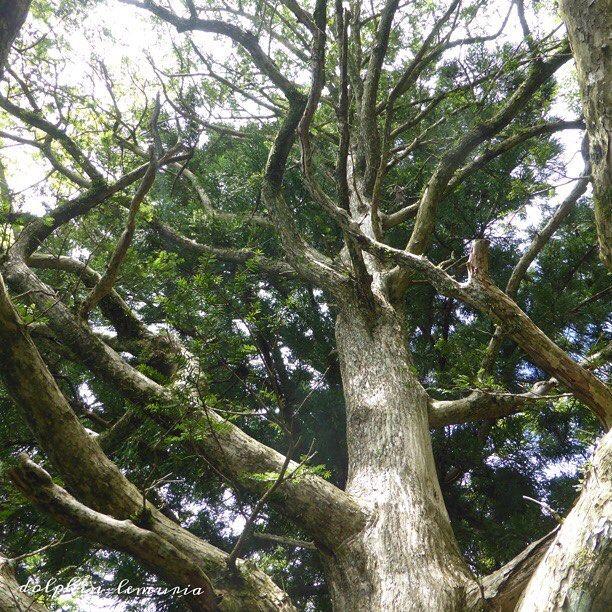 【dolphin_lemuria】さんのInstagramをピンしています。 《この木は箱根の九頭龍神社で撮ったと思います🌳 御神木だったかな。 昨日はなかなか寝付けず今朝は眠いです💤 そんな中最終セットの終盤だけ見た錦織圭君の試合ですが、最後は少し粘られましたがストレート勝ちでしたね🎾 次はマレーかなぁ…。 では、今日も楽しい1日をお過ごし下さいね😊✨ #🌳 #木 #御神木 #九頭龍神社 #もり #森 #神社 #wood #forest #nature #🌲》