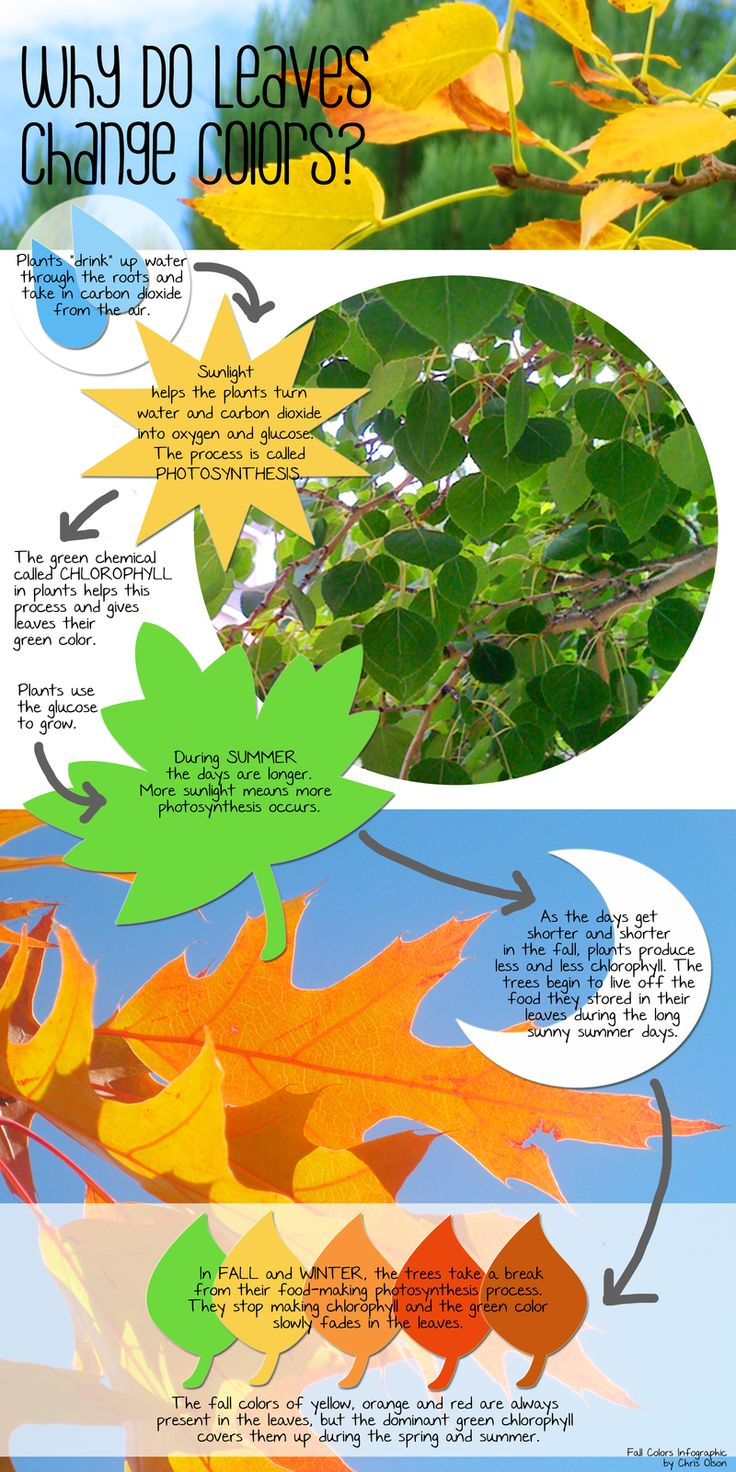 Why do leaves change colors? by Chris Olson via momathonblog #Infographic #Why_Leaves_Change_Color #Chris_Olson #momathonblog