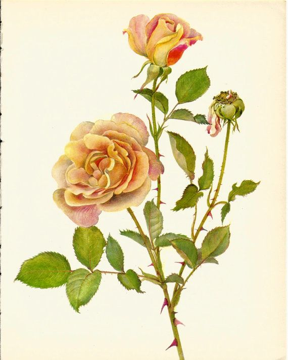 Use coupon code PINTEREST to save 10% off of your purchase! Stunning VINTAGE ROSE ILLUSTRATION Pink Rose by UpcycleFarmer