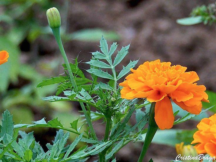 Tagetes – Tagetes patula - Herbácea com Folhas densas, subdivididas e flores simples ou dobradas e variam do amarelo ...