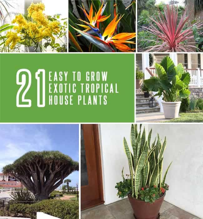 Enhance your indoor decor by learning about 21 exotic tropical house plants that are easy to grow and maintain. Even a new gardener can grow them with ease.