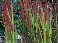 Ornamental grass can add a splash of color to your garden. These grasses have unique, vibrant leaves that brighten up your landscape in any season.