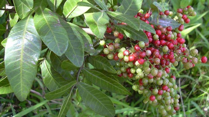 Les branches du faux-poivrier ( Schinus terebinthifolius) remplacent le houx pendant les fêtes de fin d'année au Brésil.