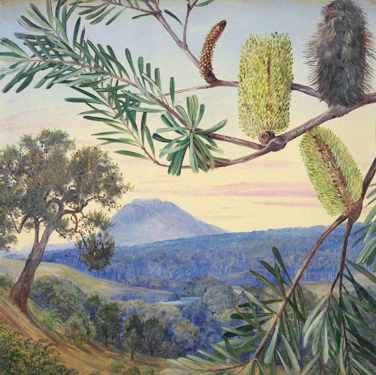 Banksia of Tasmania by Marianne North  1881