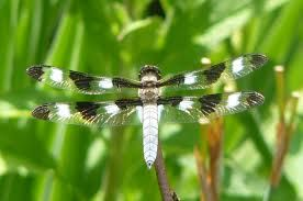Image result for dragonfly facts