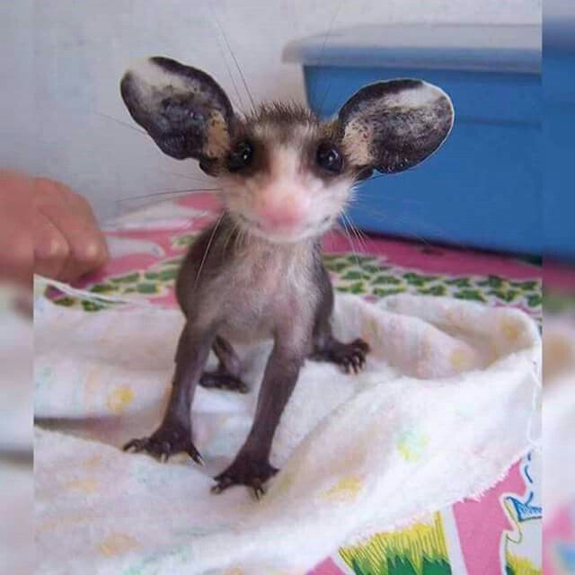 Baby Opossum...bless his heart!