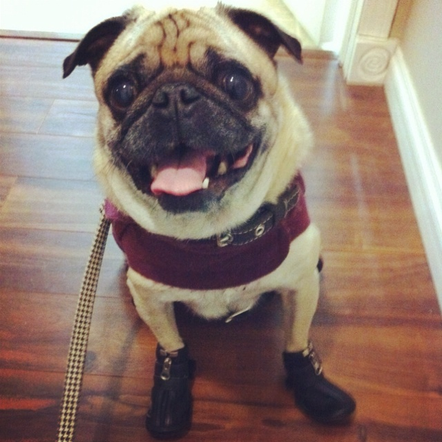 love boots #pug #furbaby: Animals, Pets, Pugs, Boots Pug, Pug Furbaby