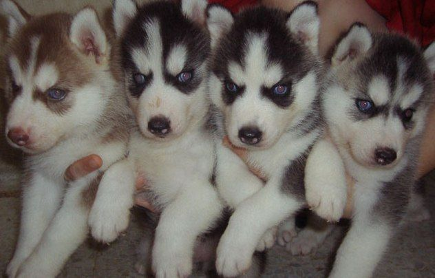 family of baby huskies