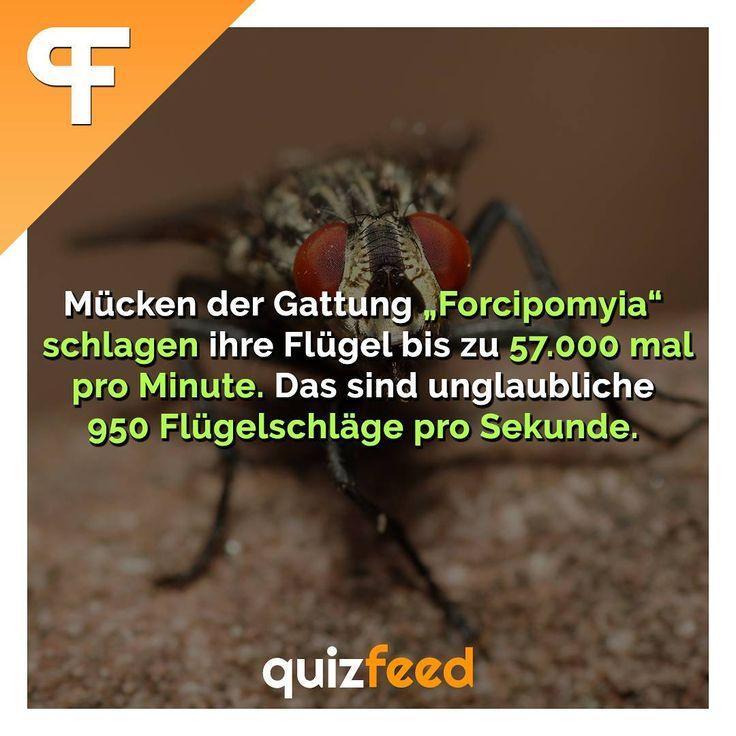 """Mücken der Gattung """"Forcipomyia"""" schlagen ihre Flügel bis zu 57.000 mal pro Minute. Das sind unglaubliche 950 Flügelschläge pro Sekunde.  #fliege #flügel #mücke #sekunde #tiere #insekt #tierwelt #rekord #fakten #wissen #schule #biologie #schnell #flink #heftig – quizfeed"""