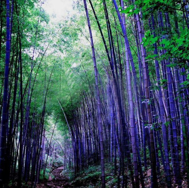 Awesome Rare Purple Bamboo Seeds Decorative Garden Lucky Bamboo Garden Plants Seeds PCS