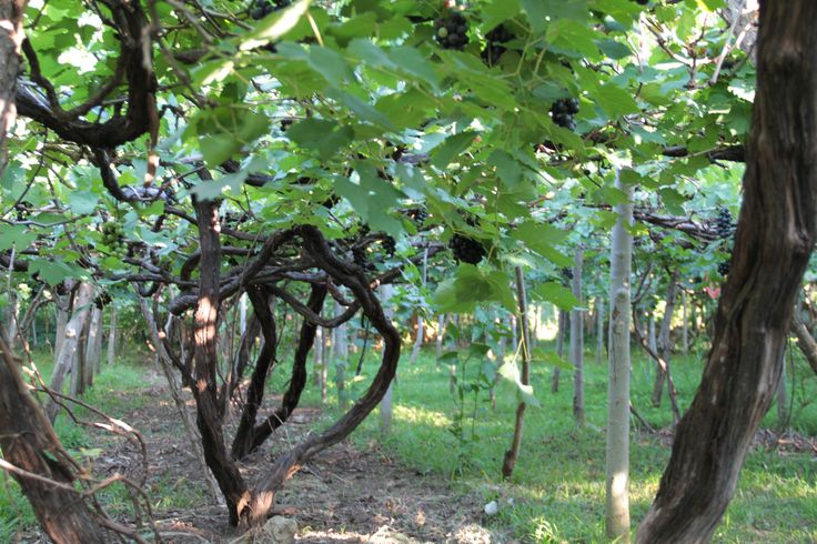 old Alphonse-Lavallee vines, trained in the pergola system.