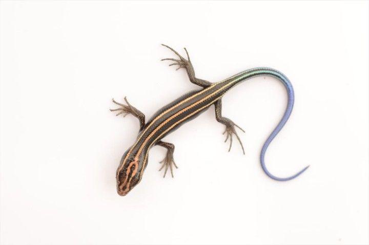 ニホントカゲの画像 原寸画像検索 ニホントカゲ トカゲ 小さな生き物