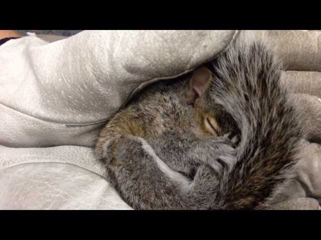 This baby squirrel has the cutest squeaking sounds.
