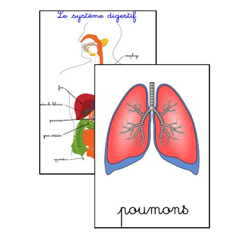 Les organes 12 cartes et shéma du système digestif