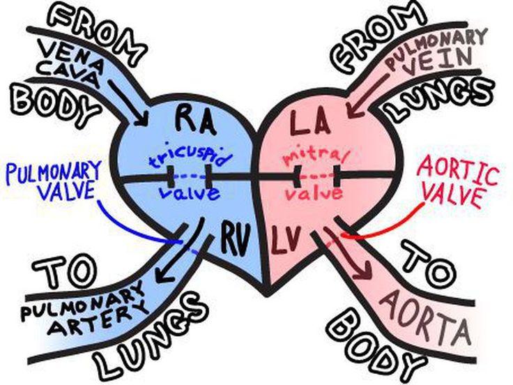 Blood flow through the heart nursing students nursing