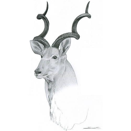 A sketch of a kudu from the Museum of Natural History and Academy of Taxidermy in Guildford. It was stuffed and mounted by the brilliant Michael Buzza.
