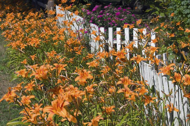It is the season of orange lilies up-Island and down.