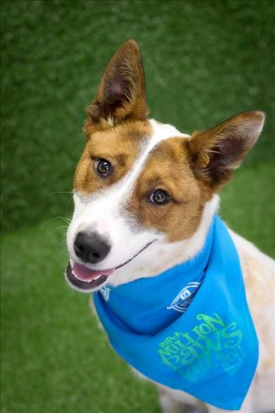 Meet Maddick. He's an 8 month old #Cattledog cross looking for a second chance at the #Brisbane #RSPCA. He loves his play time, walkies and is eager to please! Maddick was a lost pooch, never reclaimed. Can you #adopt Maddick and help him find #love again? (ID 798401). He's just $315 to take home. Pop in - 139 Wacol Station Rd, Wacol. #adoptapet #rspcaqld #dog #rescuepet #secondchance #adoptdontshop