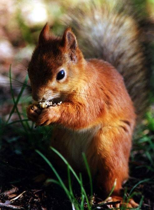 ** Squirrel