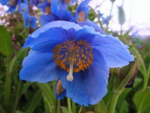 Himalayan Poppy: Gardens Ideas, Flowers Gardens, Blue Poppies, Fabulous Flowers, Knock, Himalayan, Flores Plantas, Gardens Dreams, Gardens Inspirations