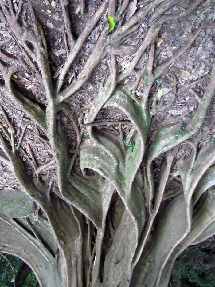 Costa Rican arte tree root