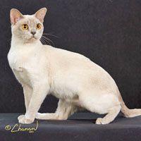 European Burmese | Cat Breed