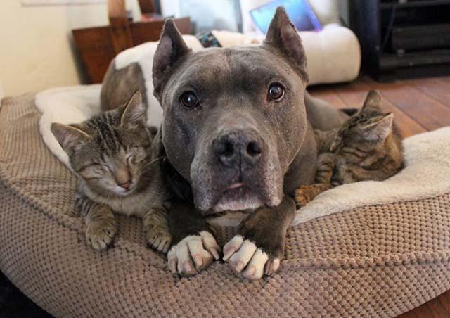 Unos perros Pitbull cuidan de gatos ciegos mientras sanan en un hogar temporal