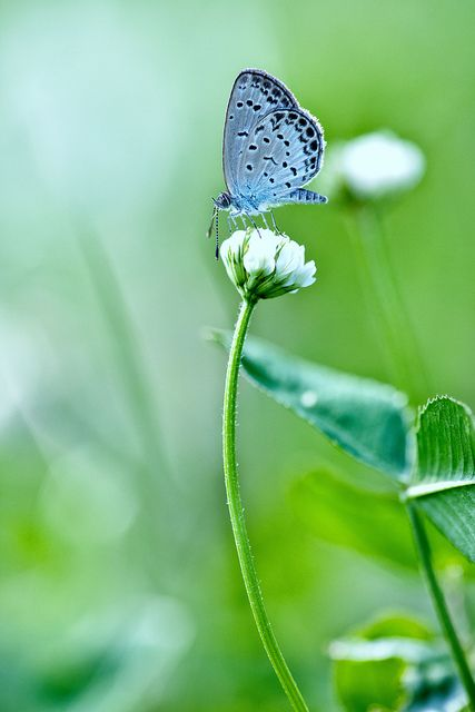 Little Blue Butterfly by chibitomu on Flickr.