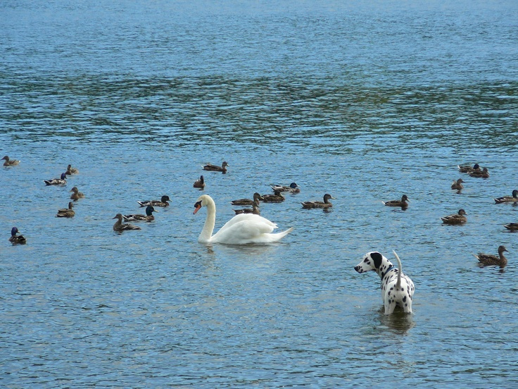 Swan and dog on Coniston Water