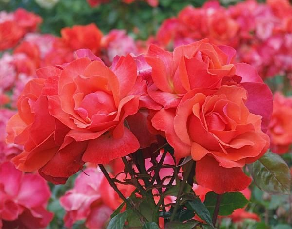 by Rona BlackRona Black, Photographers Rona, Floral Bloom, Stunning Flower, Flower Power, Rona Photography, Beautiful Flower Photography, Flower Photographers, Rose Abundance