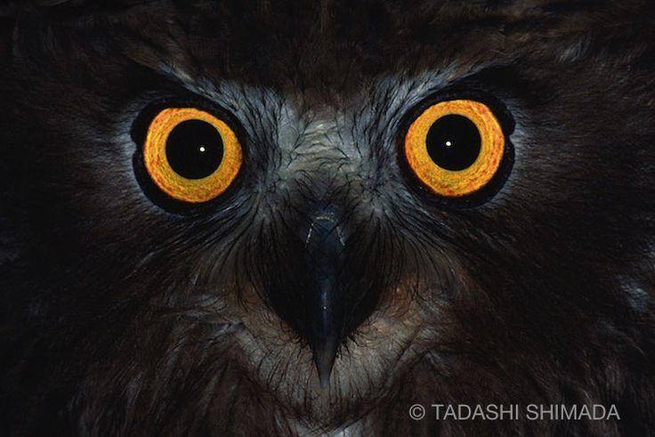 FISH-OWL Photograph by Tadashi Shimada カムイの夜 シマフクロウ 嶋田忠