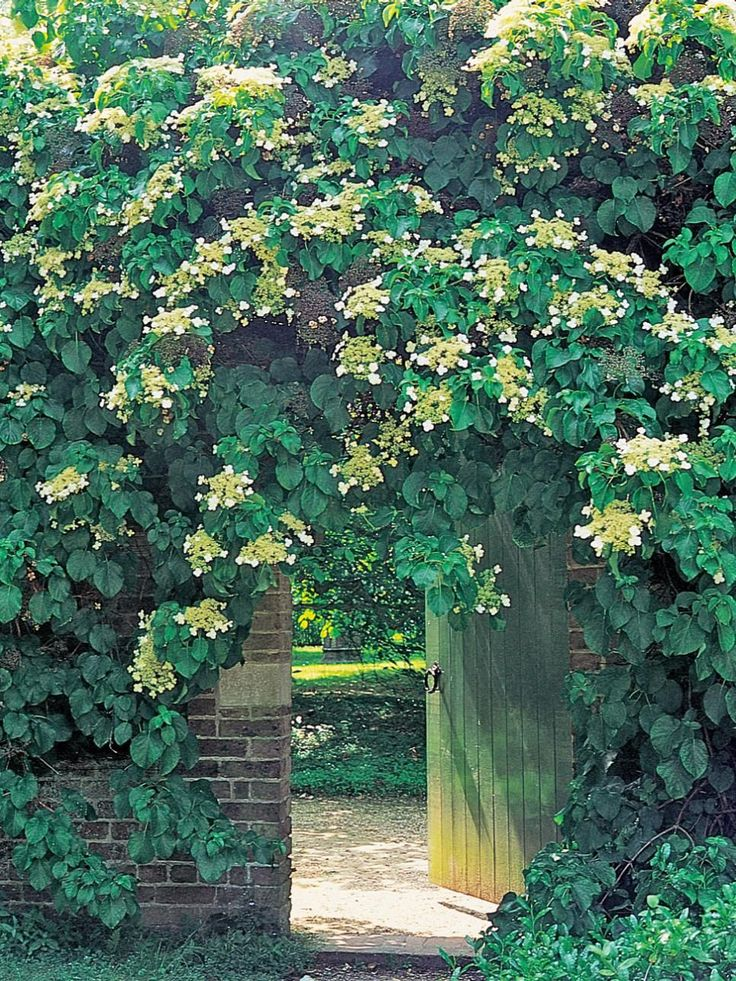 330 best images about growing hydrangeas on pinterest - Garden arch climbing plants ...