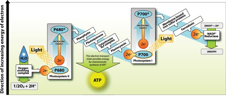 The Light-Dependent and Light-Independent Reactions - Shmoop Biology