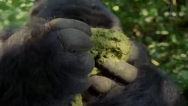 (8) Mountain Gorilla A Shattered Kingdom ★ Documentary Discovery Channel - YouTube