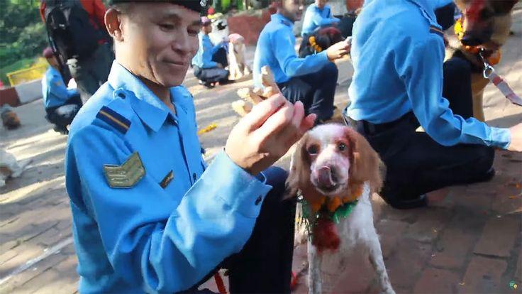 Tous les ans, les Hindous népalais célèbrent le Kukur Tihar Festival pendant une semaine, chaque jour étant dédié à un animal. Pour la journée du chien, les croyants décorent, chouchoutent et donnent de la nourriture aux canins. SooCu...