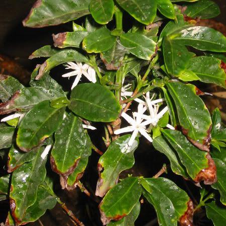 Coffea arabica borbonica / Cafe Bourbon Pointu - lot de 10 graines - Fleur-des-Tropiques