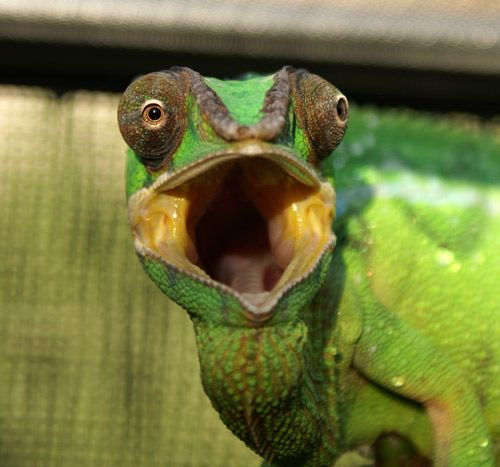 panther chameleon  You did what?!?