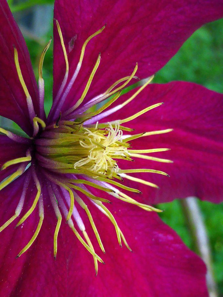 ~~Klematis Blüte - flowering Clematis, macro by eagle1effi~~