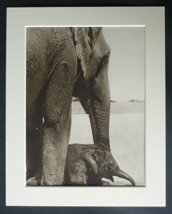 1930s Vintage Sepia Print of a Mother Elephant and Baby Calf Natural history decor, Indian elephant art - Available Framed - Jungle Picture