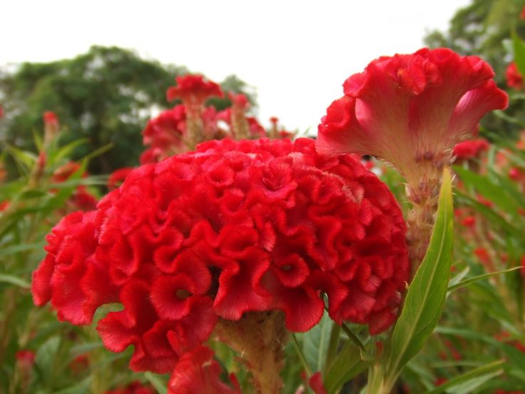 coxcombs plants | Red cockscomb flowers, picture courtesy of Wikimedia Commons.