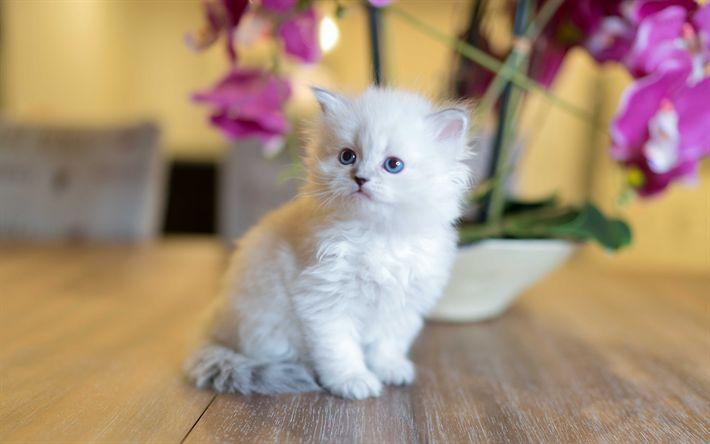 Download wallpapers Siberian kitten, white fluffy kitten, small cat, cute animals, Siberian cat